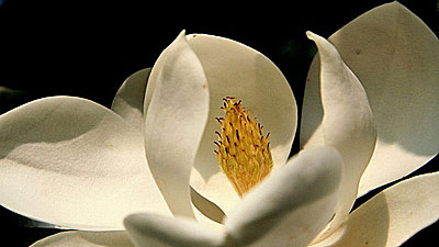 A sugar magnolia we think of as an ode to O'Keeffe