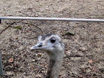 Amsterdam ostrich