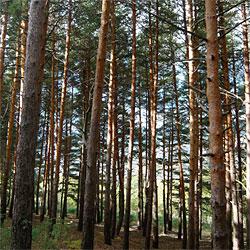 Sierra mountain trees
