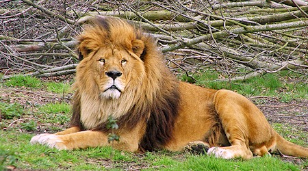 Lion around at the Dublin Zoo. Photo: Tambako