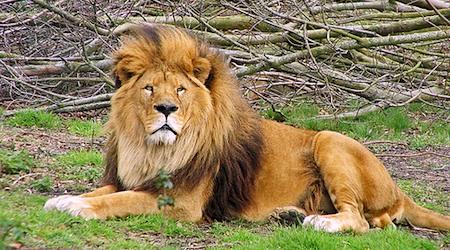Lion around at the Dublin Zoo. Photo: Tambako