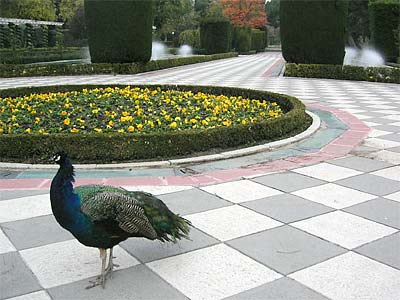 Peacocks in the Jardines de Cecilo Rodriguez